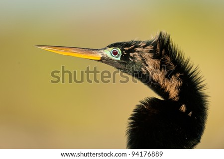 Male anhinga along the Anhinga Trail in Everglades National Park near Homestead, Florida
