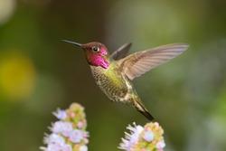 Male Anna's Hummingbird flying