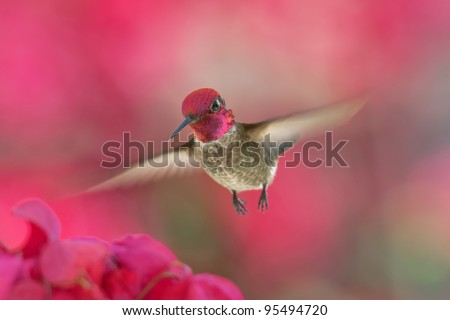 Male Anna's hummingbird with rose-red crown flying to Bougainvillea
