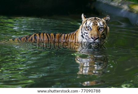 male asia tiger in pool