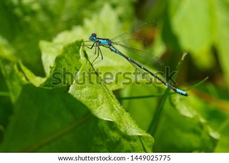 Male Aurora Damsel Damselfly perched on a green leaf. Aurora Damsel Damselfly - Chromagrion conditum #1449025775