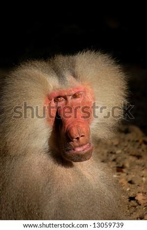 male baboon monkey looking almost human