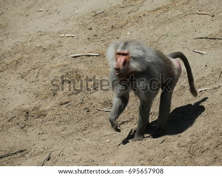Male baboon standing and waiting on the sand #695657908