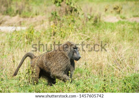 Male baboon wonder around the ground at Lake Nakuru. Baboon is so strong and always ready for fight.