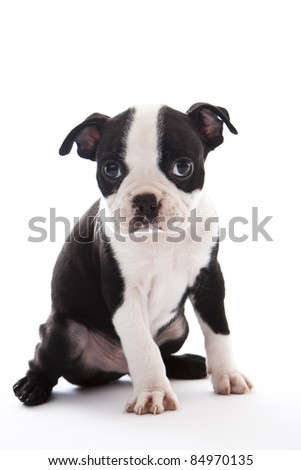 Male baby Boston Terrier on white, vertical.