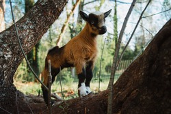 Male baby goat under a month old posing for the camera on a small local farm.  Goat stands on a tree trunk in a goat pen.