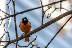 Male baltimore oriole on a branch in a springtime backyard in Taylors Falls, Minnesota USA.