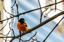 Male baltimore oriole on a springtime branch in a backyard in  Taylors Falls, Minnesota USA.
