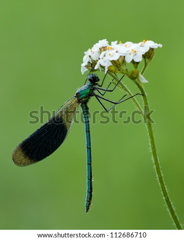 Male Banded Demoiselle (Calopteryx splendens) hanging around