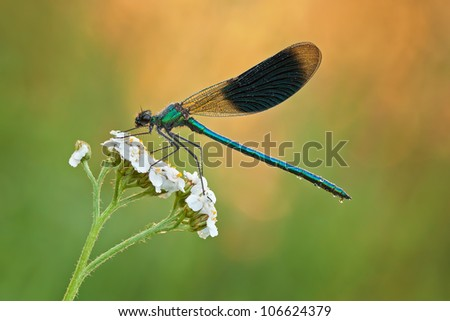 Male Banded Demoiselle (Calopteryx splendens) with a beautiful colored background