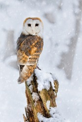 Male Barn owl perched and looking at the camera with snow falling and a snowy backdrop