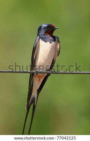 male barn swallow perched on a metal wire, close-up