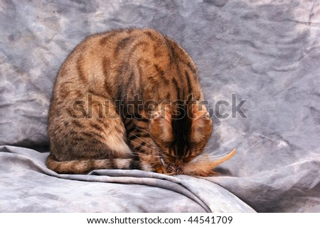 male bengal cat leaning down to bite on feathered toy against a grey background