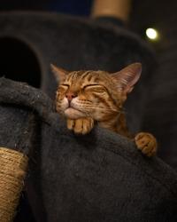 male Bengal cat sleeping in a hammock resting head on paw