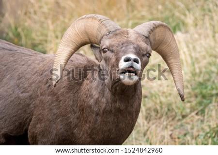 Male Bighorn Sheep doing the Flehmen response. Colorado, USA. #1524842960