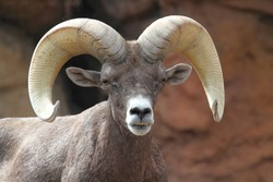 Male Bighorn Sheep (Ovis canadensis) on a rocky cliff