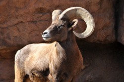 Male bighorn sheep ram with large horns on cliff