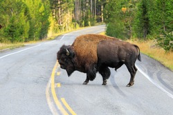 Male bison crossing road in Yellowstone National Park, Wyoming, USA