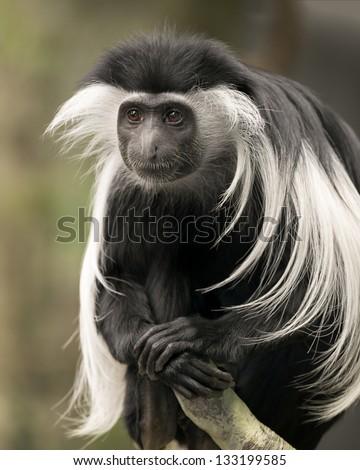 Male black and white colobus (Colobus guereza) monkey portrait
