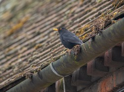 Male black bird perched on guttering.