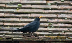 Male black bird perched on roof tiles.