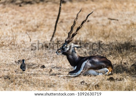 Male black bucks with big horn resting under a tree at Gir National Park