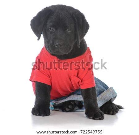 Stock Photo male black labrador retriever puppy wearing jeans and a red shirt on white background