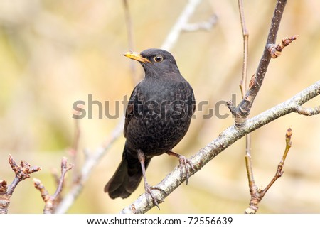 Male blackbird in a tree