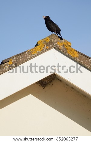 Male blackbird singing on the top of roof