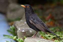 Male Blackbird standing on a blue wall, waiting for his turn to enter the feeding area. He looks so calm.