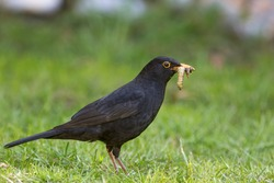 Male blackbird with caterpillar and juicy grubs in its beak. Close-up of garden bird collecting insect food for its young chicks. Parent bird foraging for food on grass lawn in the UK.