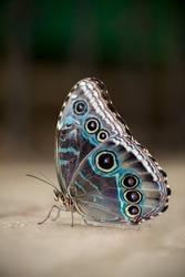 Male Blue Morpho Butterfly