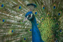 Male blue peacock in an exotic garden
