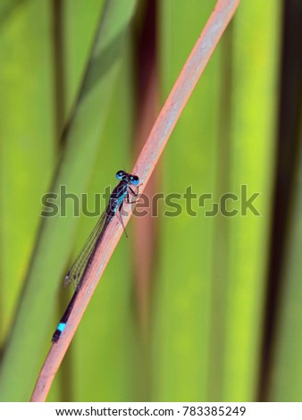 Male Blue-tailed Damselfly - Ischnura elegans, Crete #783385249