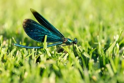 male blue-winged dragonfly lies in the grass