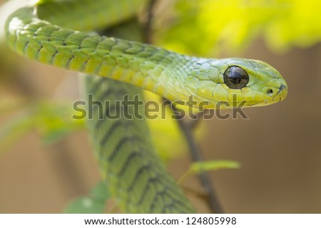 Male Boomslang snake (Dispholidus typus) in South Africa - stock photo