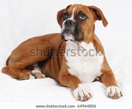 male boxer puppy posing.  plain background