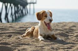 Male Breton Dog