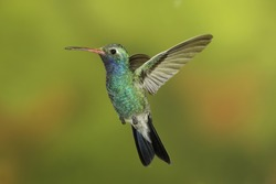 Male Broad-billed Hummingbird hoovering