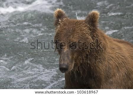 Male Brown Bear fishing for salmon in Katmai National Park in Alaska