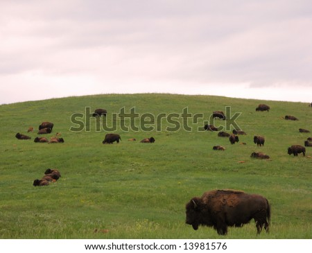 Male bull bison and large herd of wild bisons on a green grass hill of the American West prairie in the Black Hills of western South Dakota