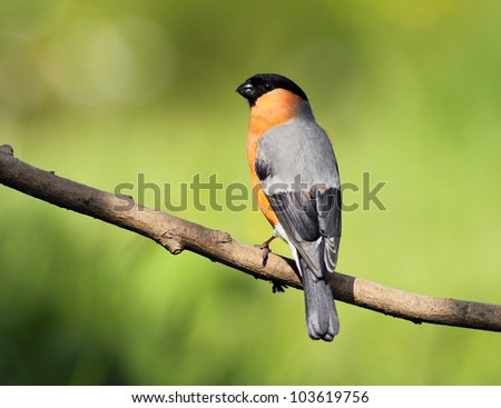 Male Bullfinch perched on a tree branch - stock photo