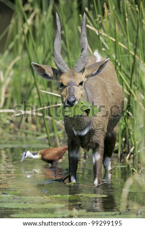Male Bushbuck eating water lilies (Tragelaphus Scriptus), South Africa