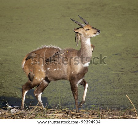 Male Bushbuck (Tragelaphus Scriptus) covered in ox pecker birds, South Africa
