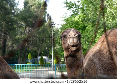 Male camel close up at zoo Stok fotoğraf ©
