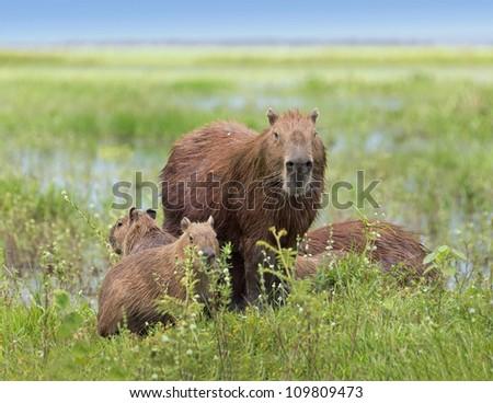 Male capybara with their kids in the El Cedral - Los Llanos, Venezuela, South America
