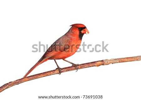male cardinal balances a safflower seed in its beak, sitting on a branch, white background