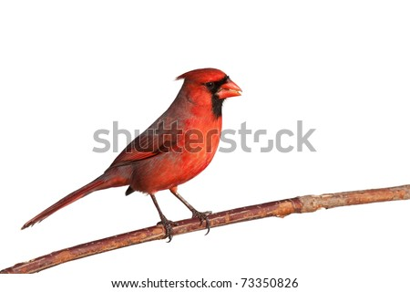 male cardinal perched on a branch chews on a safflower seed; white background