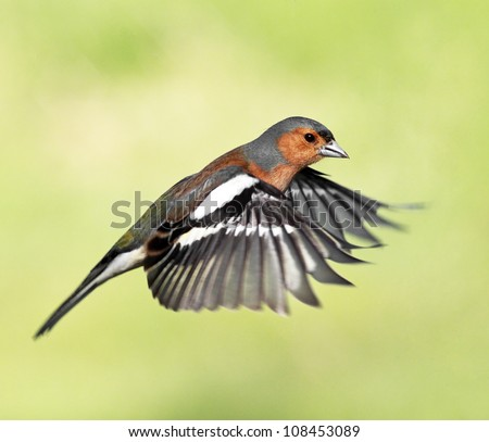 Male Chaffinch hovering in flight
