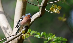 Male chaffinch in the woods